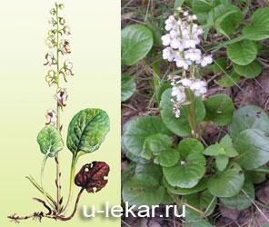 http://www.u-lekar.ru/img/grushanka.jpg