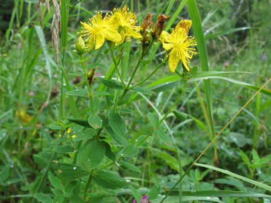 зверобой трава лечебные свойства и противопоказания для женщин белье термобелье может