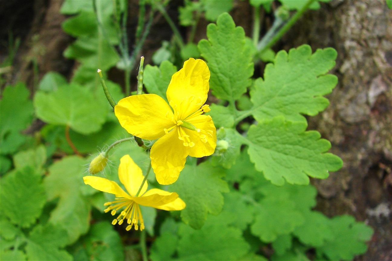 Растение чистотел фото