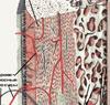 Современное представление о соединительной ткани