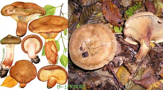 свинухи фото грибы