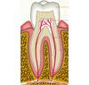Формирование зубов у человека